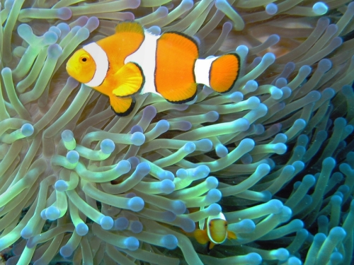 Common_clownfish_curves_dnsmpl