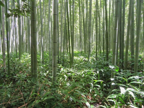 kyoto-japan-bamboo-bamboo-forest-plant-trees